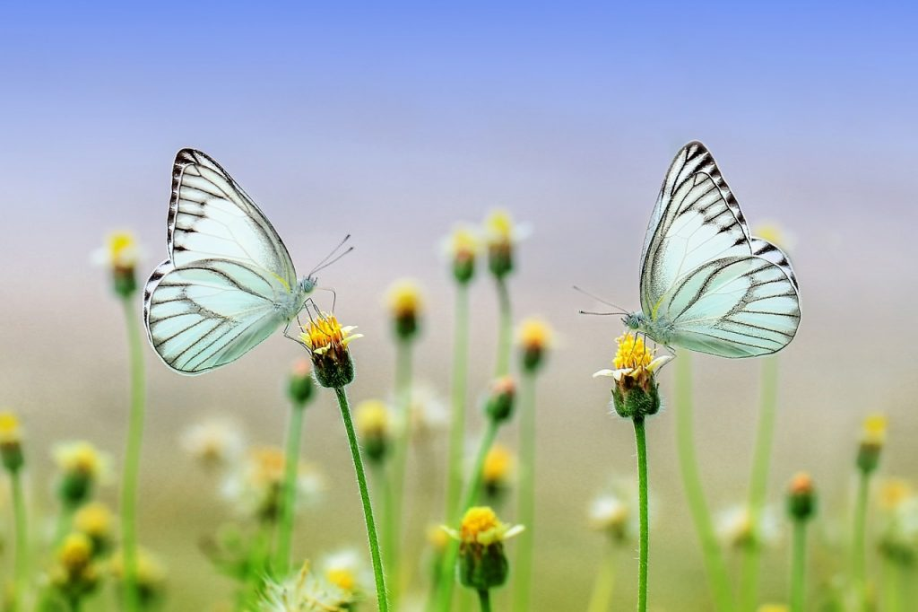 butterfly-nature